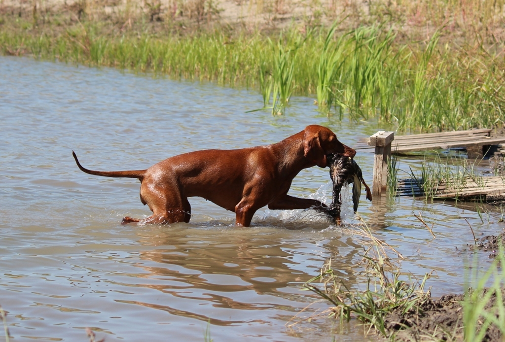 Aport kačeny z vody