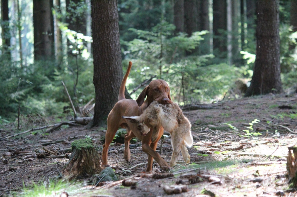 hungarian vizsla stud dog