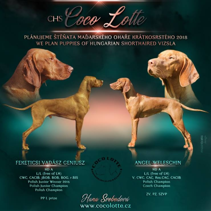 vizsla for sale coco lotte kennel